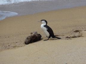Und nochmals ein Vogel im Nationalpark (Abel Tasman)