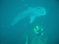 It is a whaleshark!