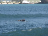 Surfing in Kahului harbor
